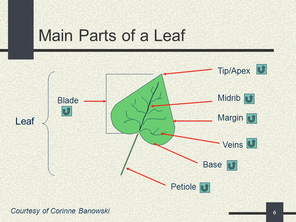 Main Parts of a Leaf Leaf Tip/Apex Midrib Blade Margin Veins Base