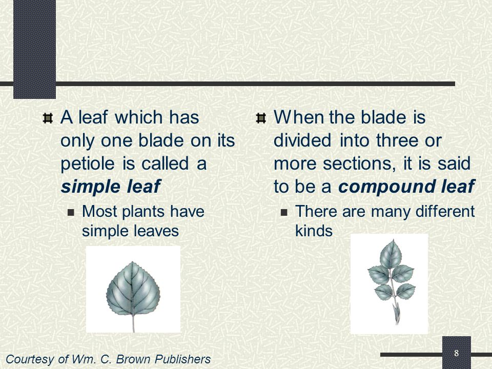 A leaf which has only one blade on its petiole is called a simple leaf