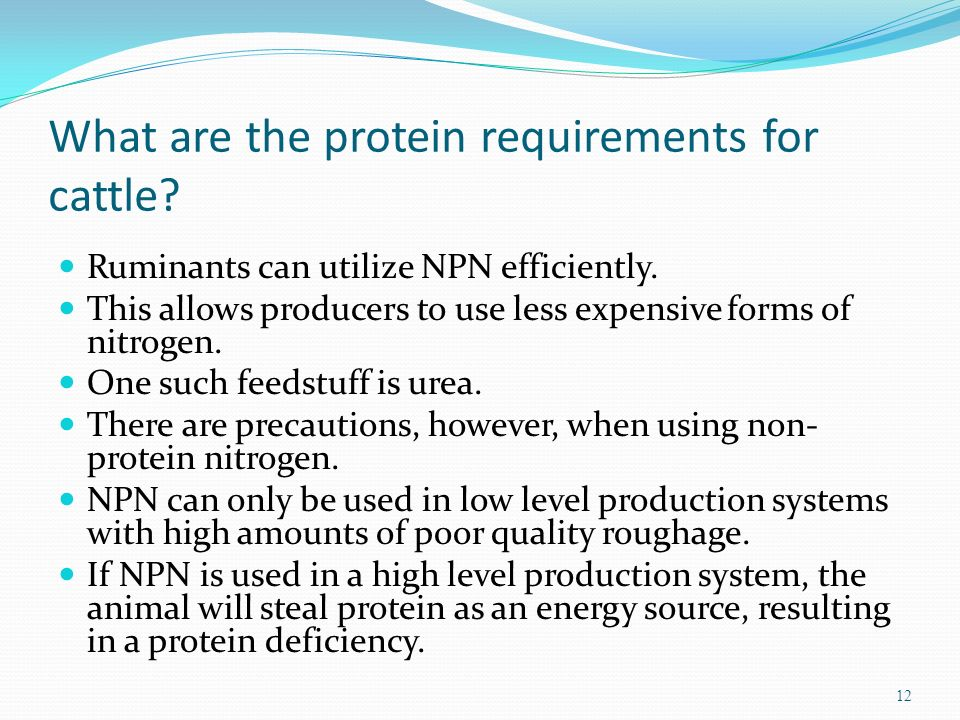 What are the protein requirements for cattle