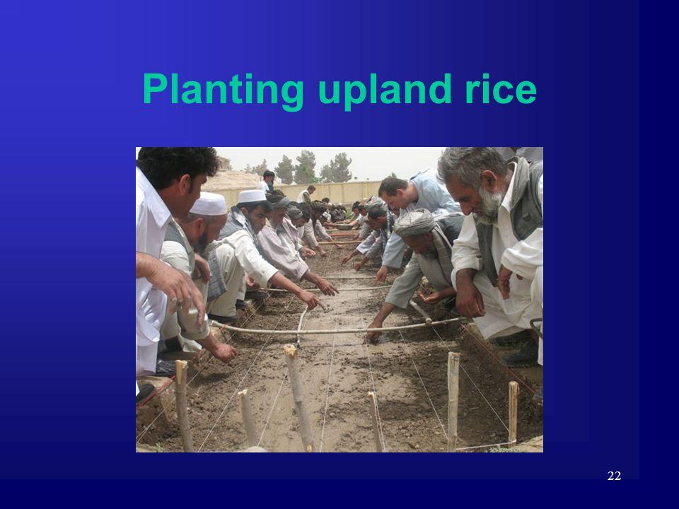 Planting upland rice