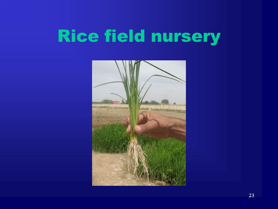 Rice field nursery