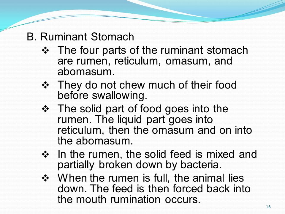 B. Ruminant Stomach The four parts of the ruminant stomach are rumen, reticulum, omasum, and abomasum.