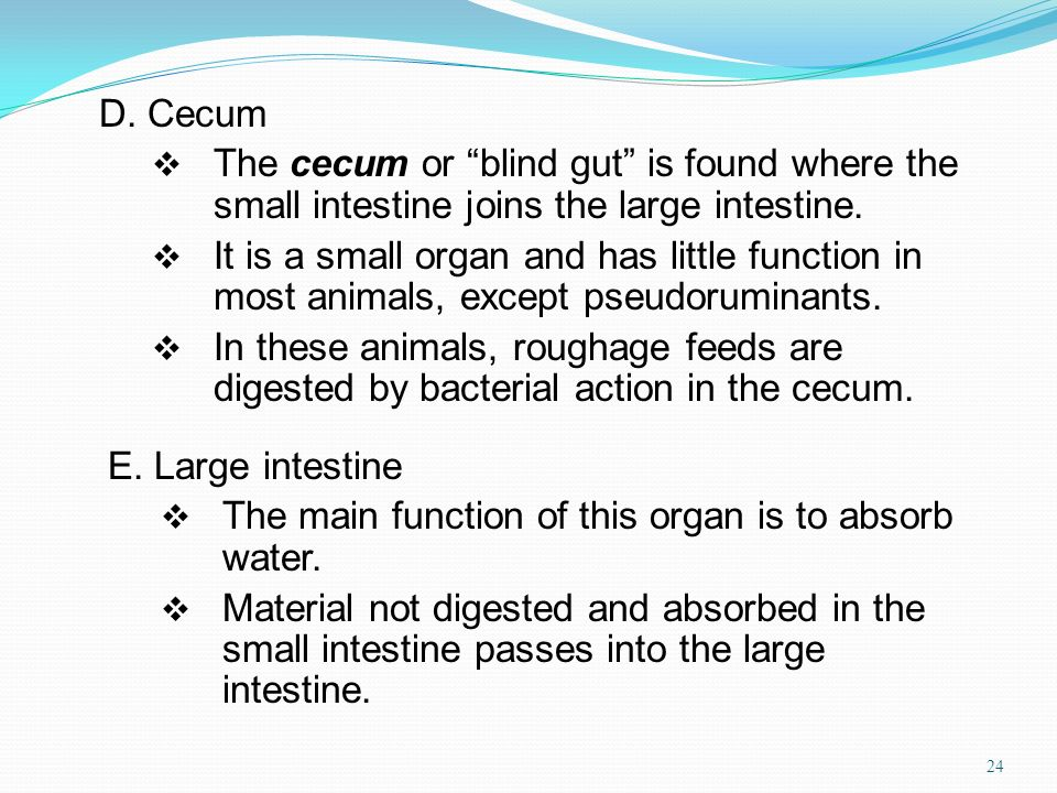 D. Cecum The cecum or blind gut is found where the small intestine joins the large intestine.