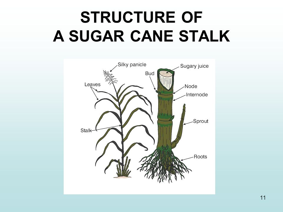 STRUCTURE OF A SUGAR CANE STALK