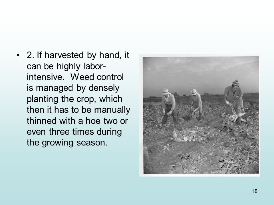 2. If harvested by hand, it can be highly labor-intensive