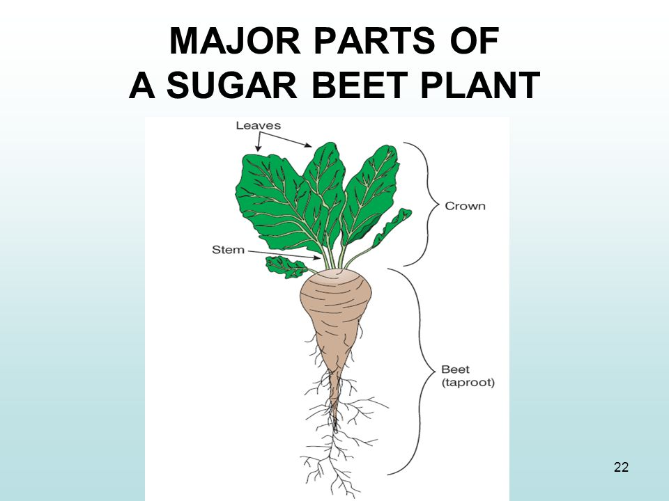 MAJOR PARTS OF A SUGAR BEET PLANT