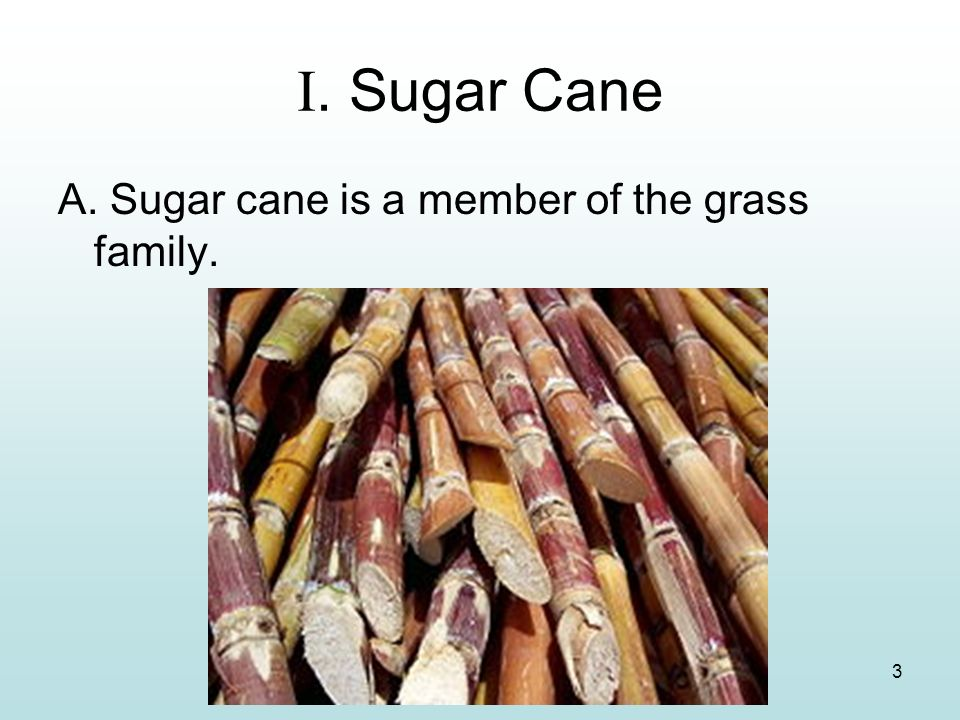I. Sugar Cane A. Sugar cane is a member of the grass family.