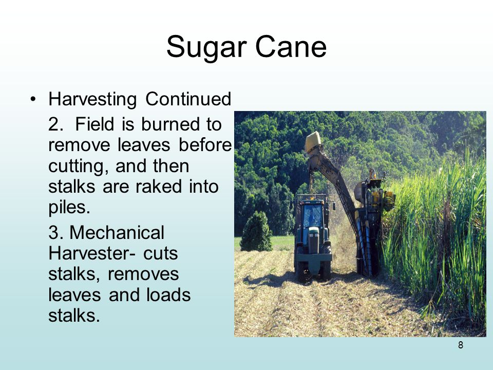 Sugar Cane Harvesting Continued