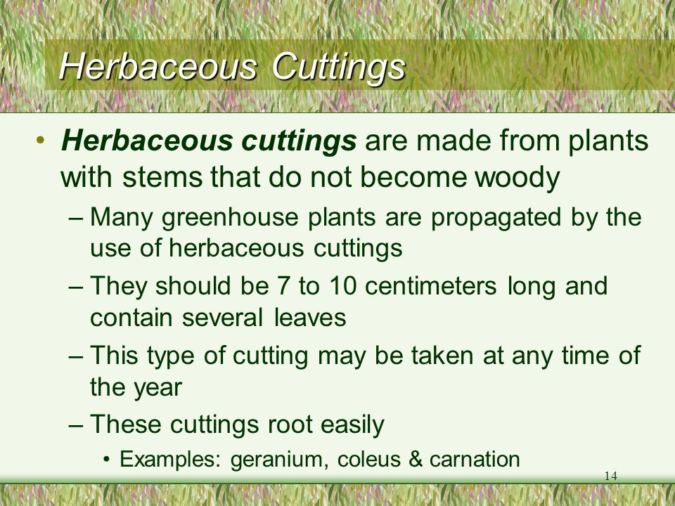 Herbaceous Cuttings Herbaceous cuttings are made from plants with stems that do not become woody.