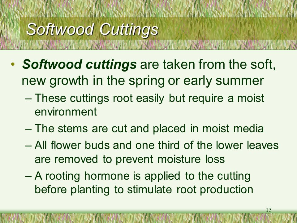 Softwood Cuttings Softwood cuttings are taken from the soft, new growth in the spring or early summer.