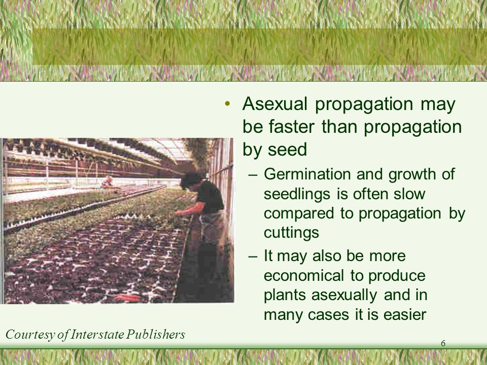 Asexual propagation may be faster than propagation by seed