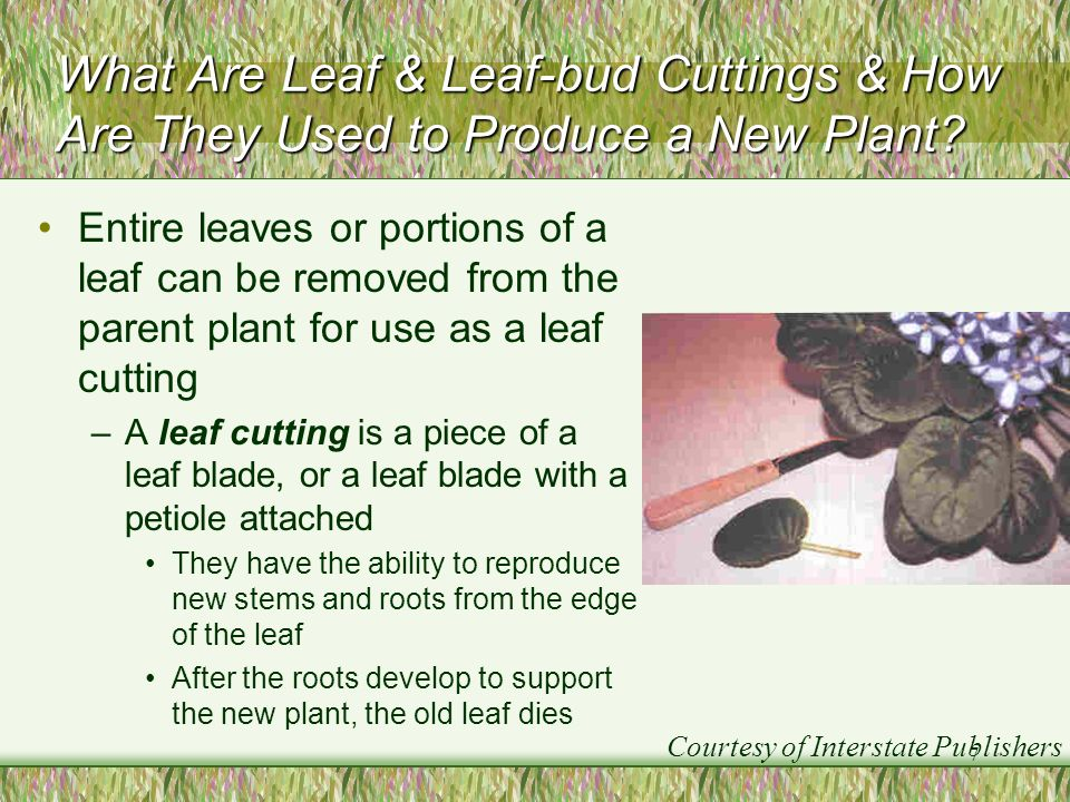 What Are Leaf & Leaf-bud Cuttings & How Are They Used to Produce a New Plant