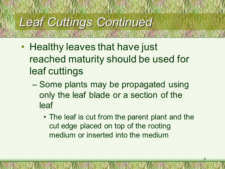 Leaf Cuttings Continued