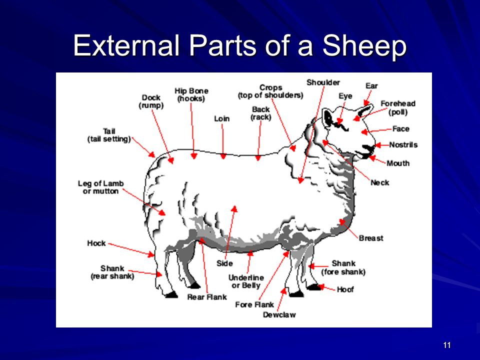 External Parts of a Sheep