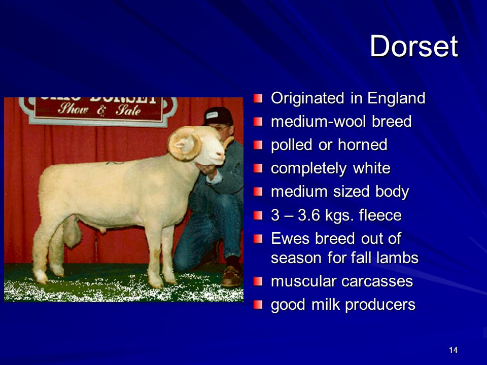 Dorset Originated in England medium-wool breed polled or horned
