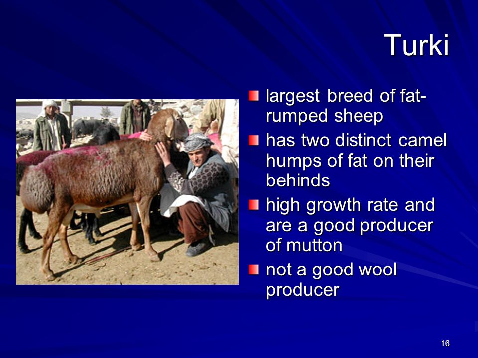Turki largest breed of fat-rumped sheep