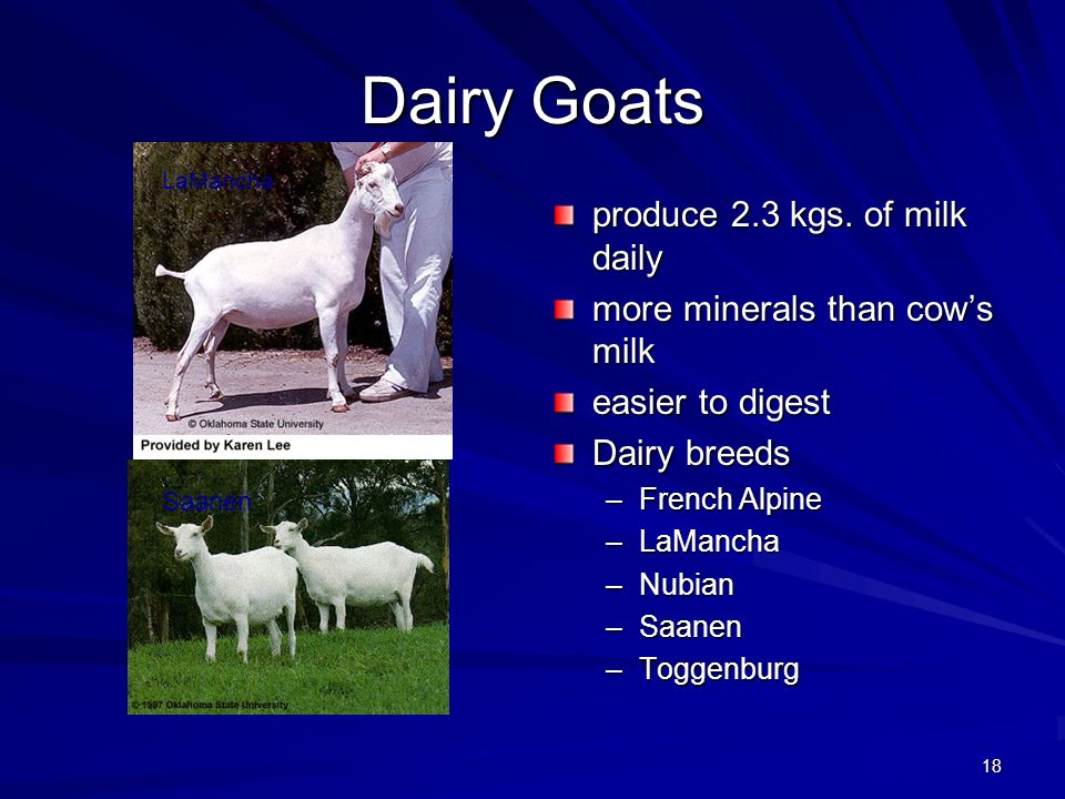 Dairy Goats produce 2.3 kgs. of milk daily
