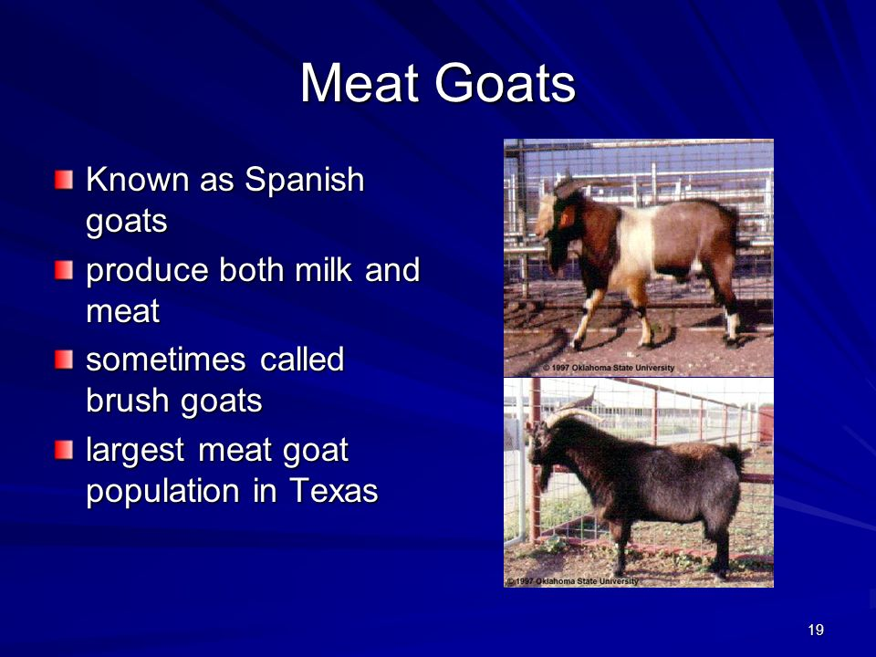 Meat Goats Known as Spanish goats produce both milk and meat