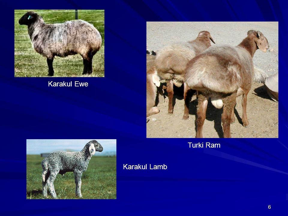 Karakul Ewe Turki Ram Karakul Lamb