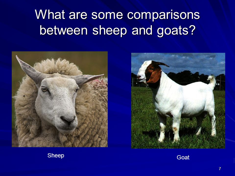 What are some comparisons between sheep and goats