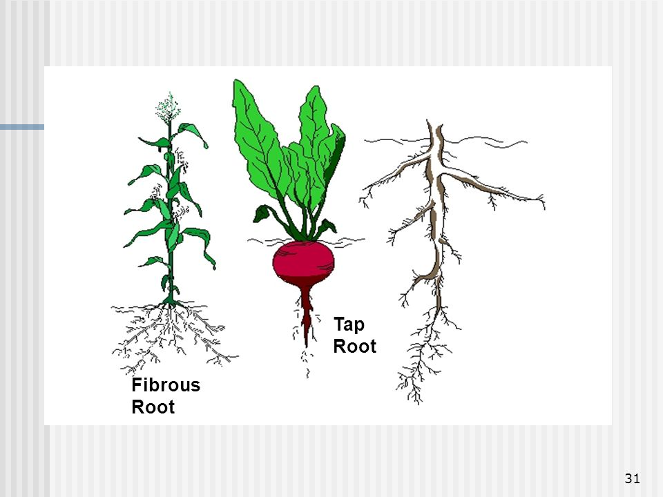 Tap Root Fibrous Root