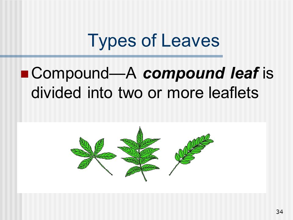 Types of Leaves Compound—A compound leaf is divided into two or more leaflets