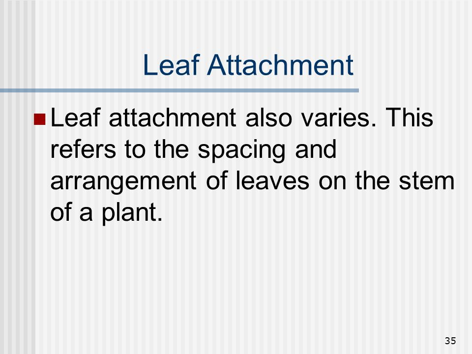Leaf Attachment Leaf attachment also varies.