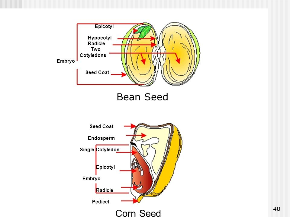 Bean Seed Corn Seed Epicotyl Hypocotyl Radicle Two Cotyledons Embryo