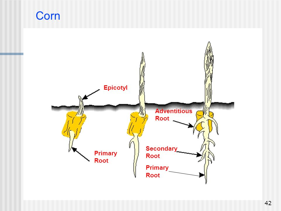 Corn Epicotyl Adventitious Root Secondary Root Primary Primary Root