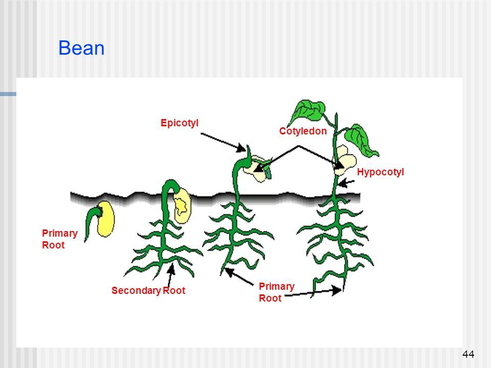 Bean Epicotyl Cotyledon Hypocotyl Primary Root Primary Secondary Root