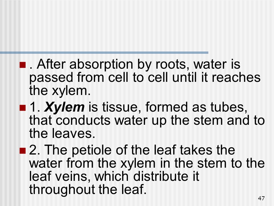 . After absorption by roots, water is passed from cell to cell until it reaches the xylem.