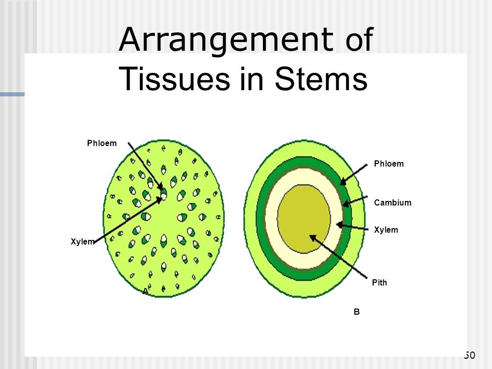 Arrangement of Tissues in Stems A B Phloem Phloem Cambium Xylem Xylem