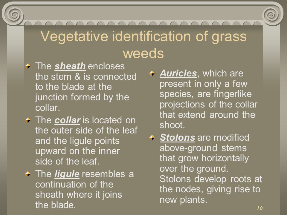 Vegetative identification of grass weeds