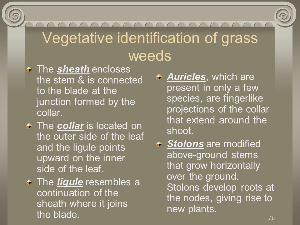 Vegetative identification of grass weeds