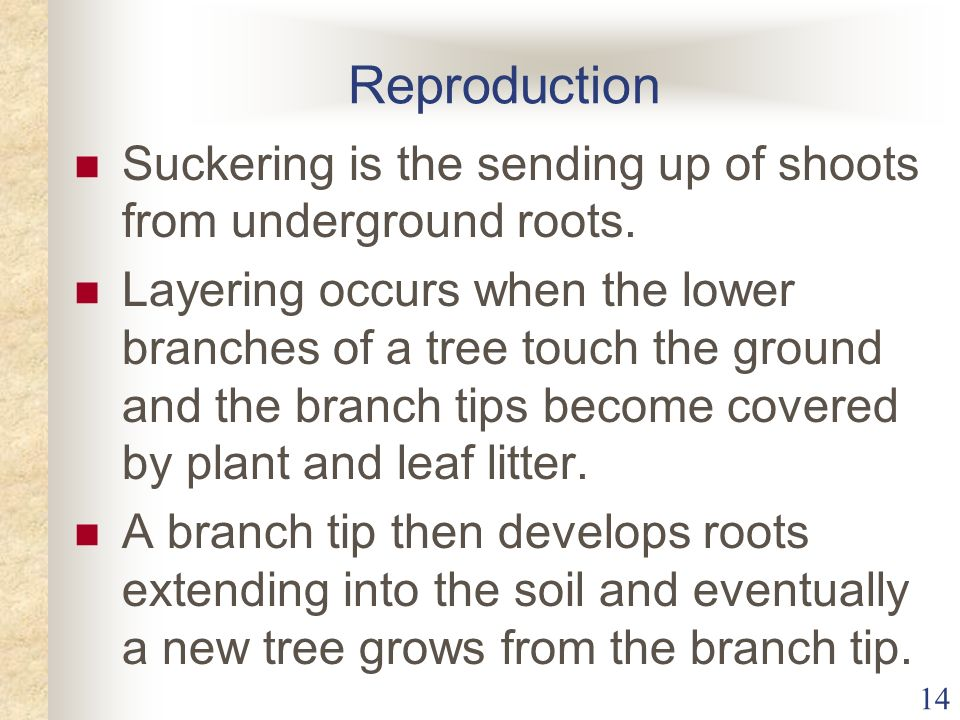 Reproduction Suckering is the sending up of shoots from underground roots.