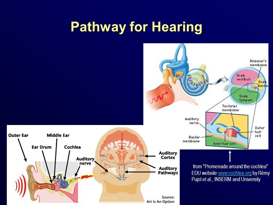 Pathway for Hearing from Promenade around the cochlea EDU website   by Rémy Pujol et al., INSERM and University.
