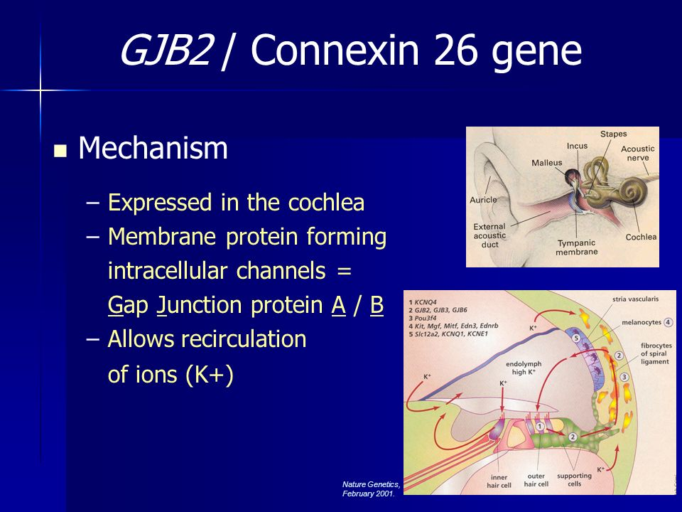 GJB2 / Connexin 26 gene Mechanism Expressed in the cochlea