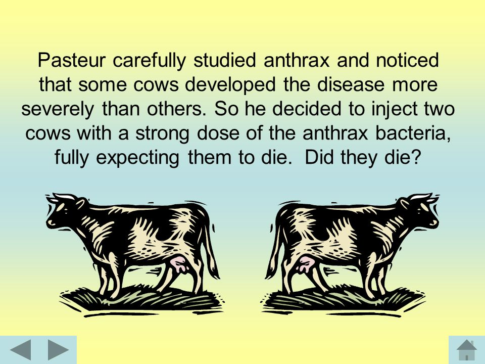 Pasteur carefully studied anthrax and noticed that some cows developed the disease more severely than others.