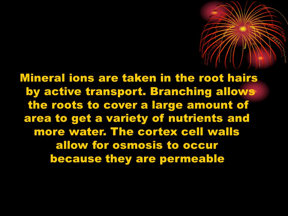 Mineral ions are taken in the root hairs