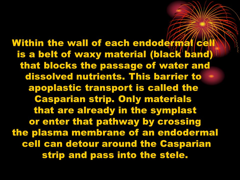 Within the wall of each endodermal cell