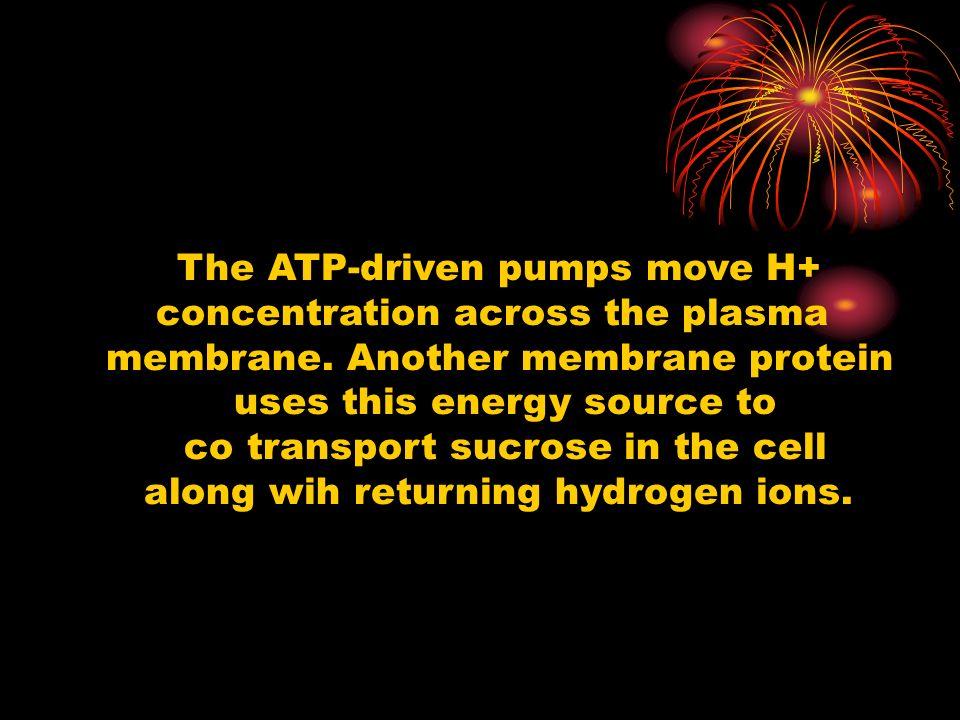 The ATP-driven pumps move H+ concentration across the plasma