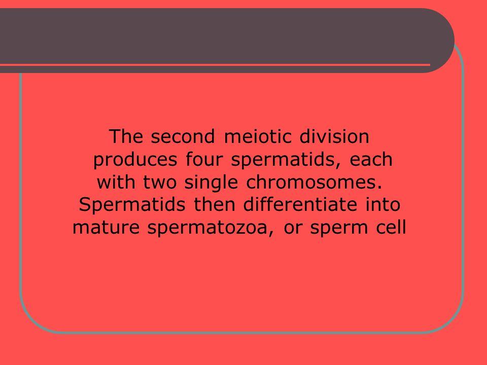 The second meiotic division produces four spermatids, each