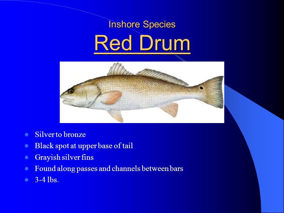 Inshore Species Red Drum
