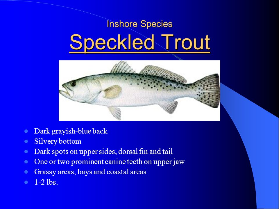 Inshore Species Speckled Trout