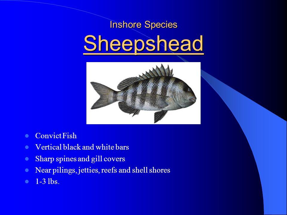 Inshore Species Sheepshead