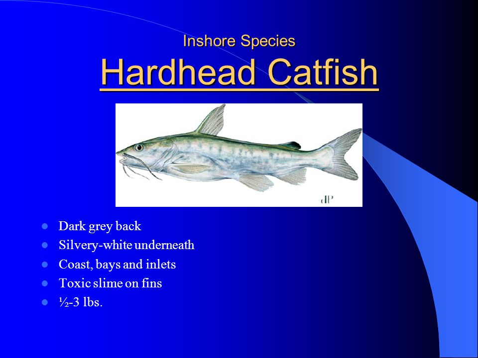 Inshore Species Hardhead Catfish