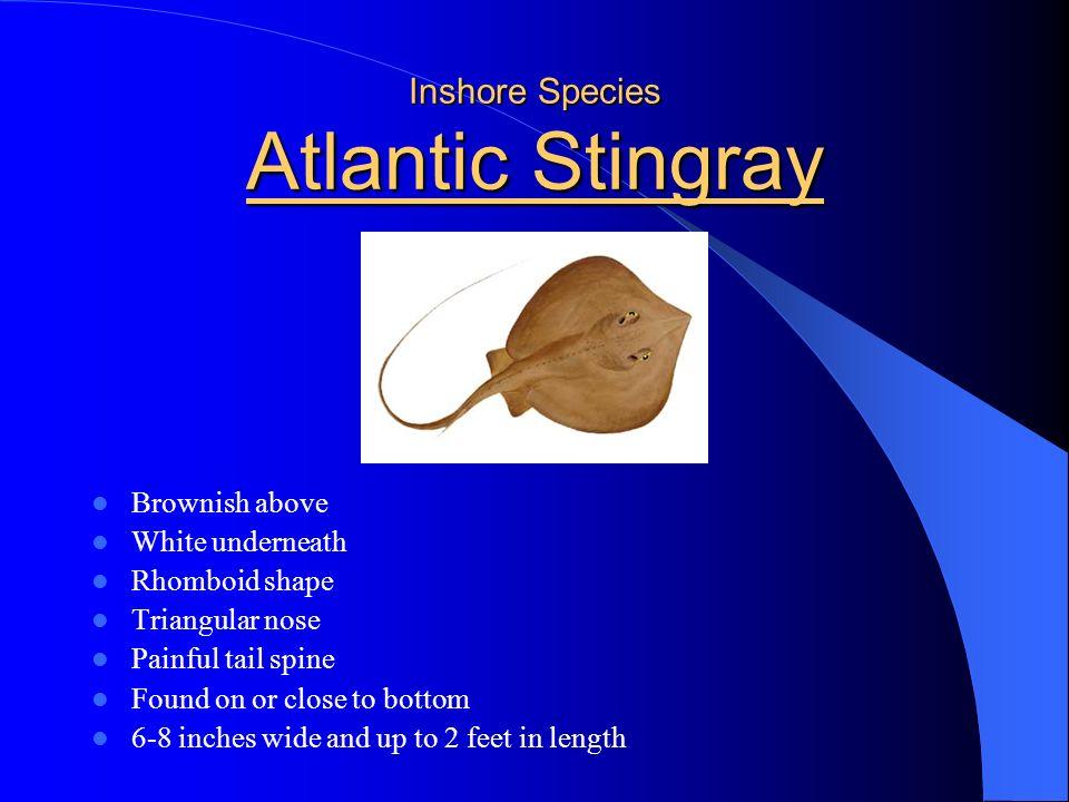 Inshore Species Atlantic Stingray