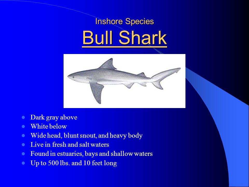 Inshore Species Bull Shark