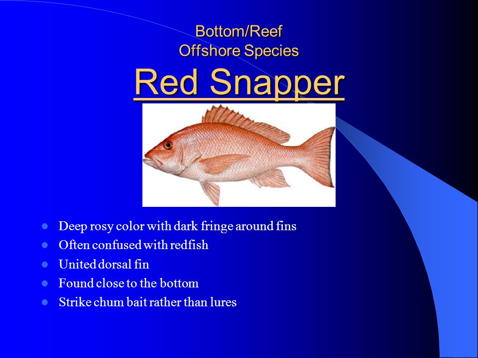 Bottom/Reef Offshore Species Red Snapper