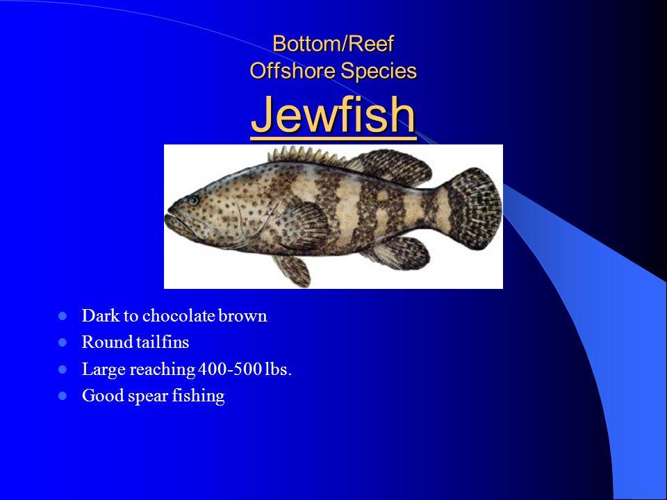 Bottom/Reef Offshore Species Jewfish